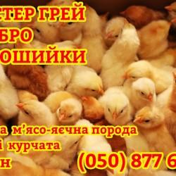 добові курчата суточні мастер грей  редбро  голошийки м ясо-яйцеві
