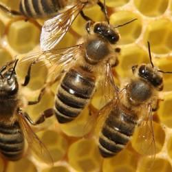 препарати для бджільництва