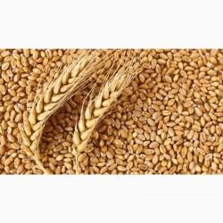 пшеница фуражная 2-3 класс от 1 тонны с элеватора