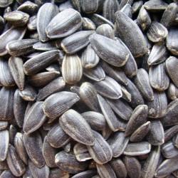 семечка масличная 48  оптом  от 1 тонны с элеватора