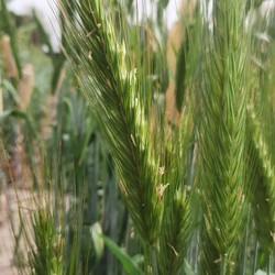 продам насіння жито озиме  левітан