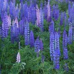 selling lupine