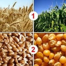 World wheat prices rise while corn falls - FAO