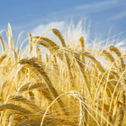 Severe weather conditions contributed to 2020 barley prices