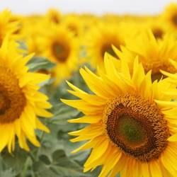 In most regions of Odessa, the sunflower yield is 0.3-0.5 t / ha