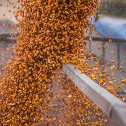 Livestock breeders ask to limit the export of corn to avoid a rise in the price of feed
