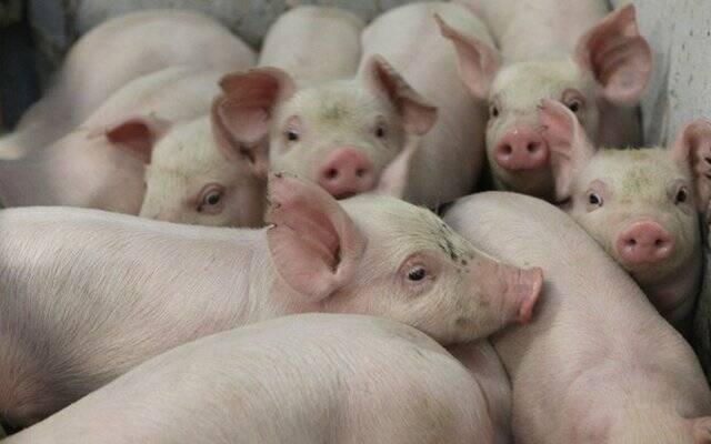 На Харківщині виявлено спалах африканської чуми свиней