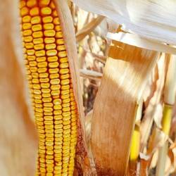 Traders are willing to pay a premium price for Ukrainian corn - Refinitiv