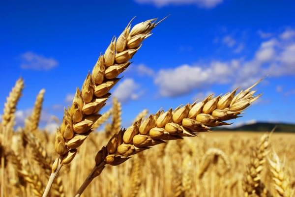 Exports of Ukrainian wheat decreased by 10% since the beginning of the season