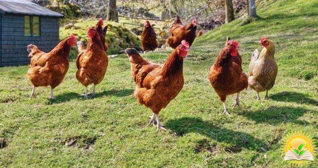 Ukraine May Enter a New Market for the Export of Halal Chicken – France